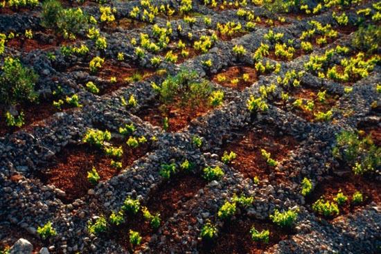 vinograd-bucavac-saricevi-dvori-3